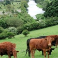 croppedimage120120-River-Dee-with-Cows-in-Corwen